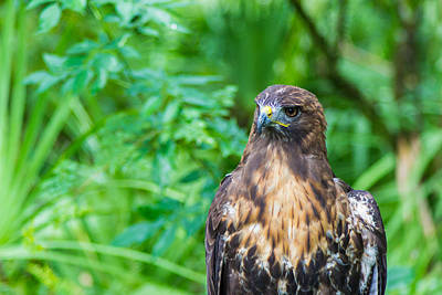 Photograph - Red Tail Hawk Macro by Shannon Harrington