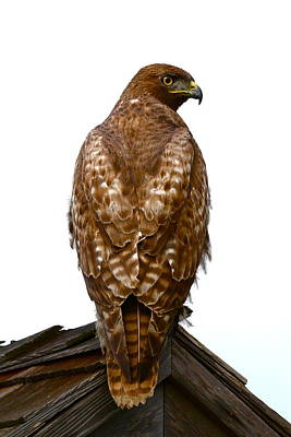 Red Tail Hawk Photograph - Red Tail Hawk by Paul Marto