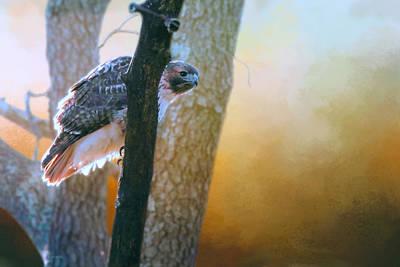 Red Tail Hawk Peek A Boo Art Print by Barbara Hymer