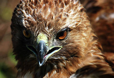 Art Print featuring the photograph Red-tail Hawk Portrait by Anthony Jones