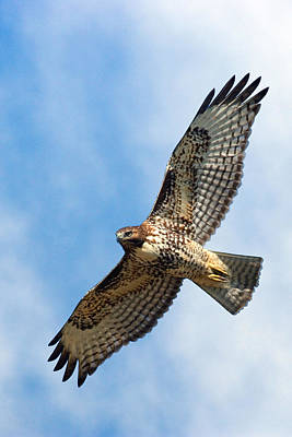 Tail Photograph - Red Tail Hawk by Randall Ingalls