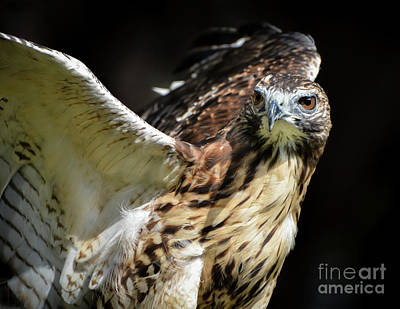 Photograph - Red Tail  Hybrid by Amy Porter