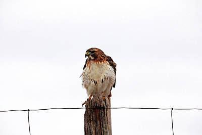 Photograph - Red Tail I by Debbie Oppermann