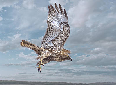 Photograph - Red Tail In Flight by Rick Mosher