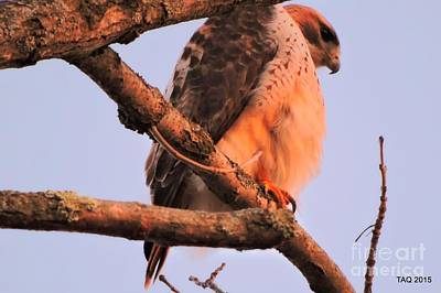 Photograph - Red Tail In The Sunset by Tami Quigley