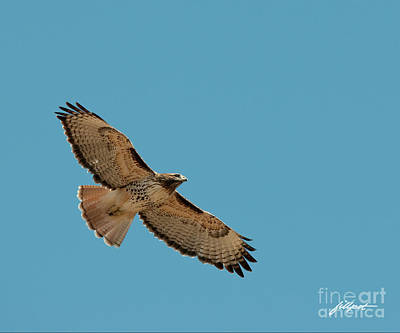 Photograph - Red Tail by Jim Fillpot