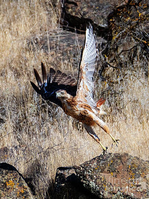 Photograph - Red-tail Leap by Mike Dawson