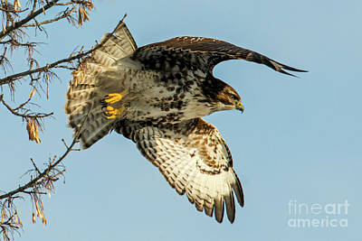 Red Tail Hawk Photograph - Red-tail  Takeoff by Mike Dawson