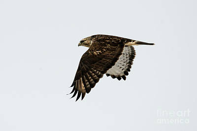 Tail Photograph - Red-tail Wings Down by Mike Dawson