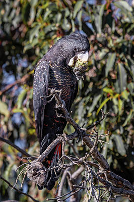 Photograph - Red Tailed Black Cockatoo by Robert Caddy