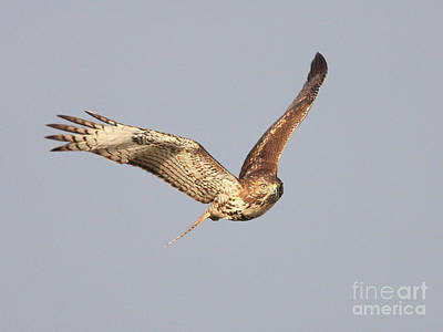 Bif Photograph - Red Tailed Hawk - 20100101-7 by Wingsdomain Art and Photography