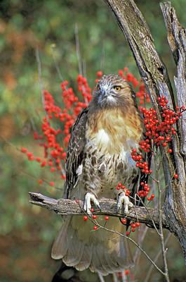 Red Tailed Hawk 1 Art Print