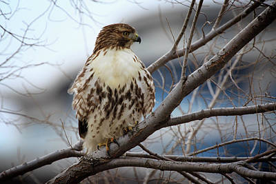 Photograph - Red-tailed Hawk 2 by Gary Hall