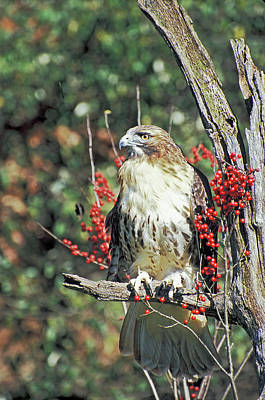 Red Tailed Hawk 2 Art Print