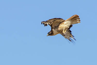 Photograph - Red Tailed Hawk 2 by Rick Mosher