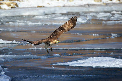 Photograph - Red-tailed Hawk 3 by Gary Hall