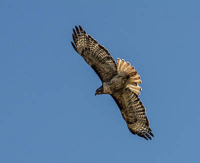 Photograph - Red Tailed Hawk 3 by Rick Mosher