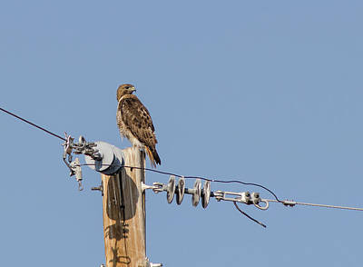 Photograph - Red Tailed Hawk 5 by Rick Mosher