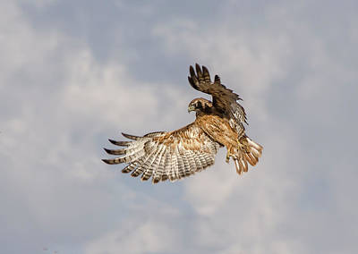 Photograph - Red Tailed Hawk 6 by Rick Mosher