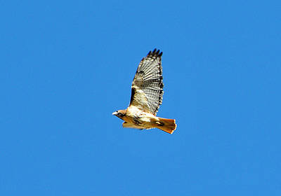 Red Tailed Hawk Original