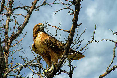 Photograph - Red-tailed Hawk by Alana Thrower