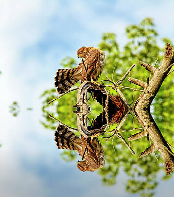 Red Tailed Hawk And Reflection Art Print