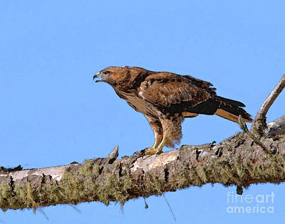 Red-tailed Hawk Print by Betty LaRue