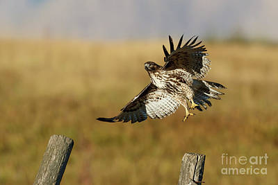 Photograph - Red-tailed Hawk by Beve Brown-Clark Photography