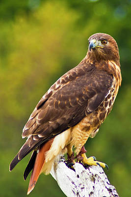 Photograph - Red-tailed Hawk by Bill Barber