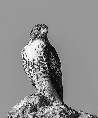 Photograph - Red Tailed Hawk Bw 12 by Rick Mosher