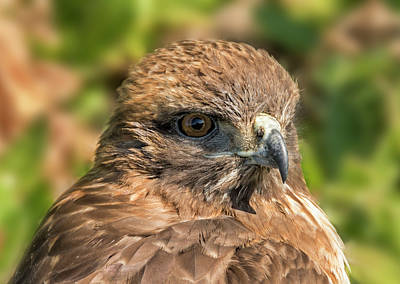 Red Tail Hawk Photograph - Red-tailed Hawk Closeup by Loree Johnson