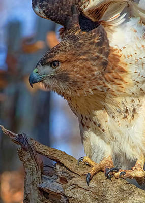 Photograph - Red-tailed Hawk - Closeup by Ron Grafe
