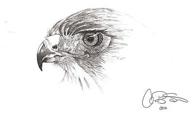 Red Tail Hawks Drawing - Red Tailed Hawk by Corinne States