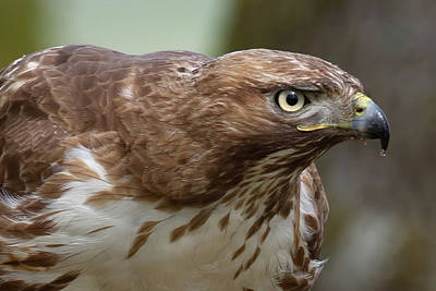 Photograph - Red-tailed Hawk by Craig Strand