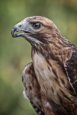 Photograph - Red Tailed Hawk by Wes and Dotty Weber