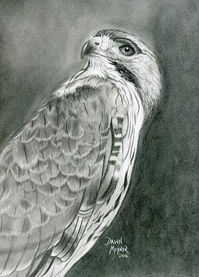 Red Tail Hawk Drawing - Red Tailed Hawk by Dawn Meynor