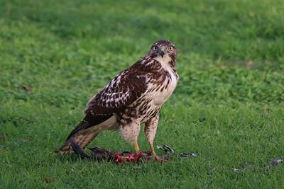 Photograph - Red-tailed Hawk Eating Dinner - 2 by Christy Pooschke