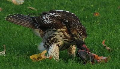 Photograph - Red-tailed Hawk Eating Dinner - 3 by Christy Pooschke