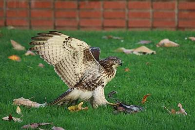 Photograph - Red-tailed Hawk Eating Dinner - 5 by Christy Pooschke