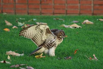 Photograph - Red-tailed Hawk Eating Dinner - 7 by Christy Pooschke