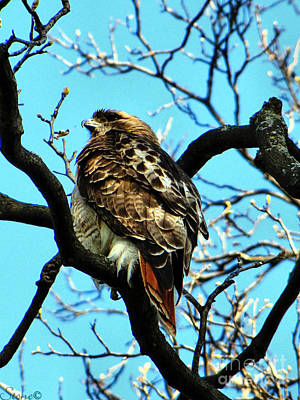 Photograph - Red-tailed Hawk by September  Stone
