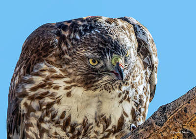 Photograph - Red-tailed Hawk Finished A Meal by Stephen Johnson