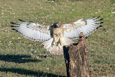 Photograph - Red Tailed Hawk Flying To Land On Log by Dan Friend