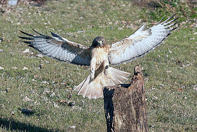 Photograph - Red Tailed Hawk Getting Ready To Land On Log by Dan Friend
