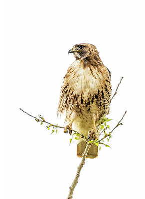 Photograph - Red-tailed Hawk High-key by Dawn Key
