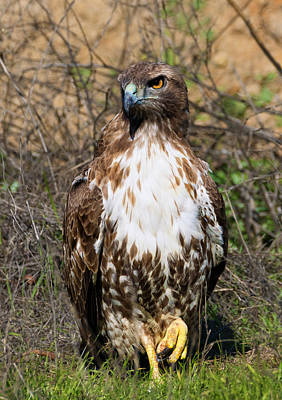 Photograph - Red-tailed Hawk Hunkered by Kathleen Bishop