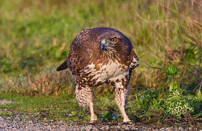 Photograph - Red-tailed Hawk Hunting Bugs by Kathleen Bishop