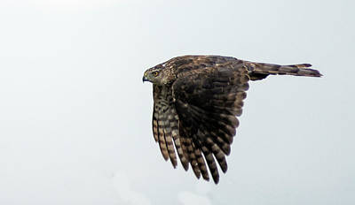 Photograph - Red Tailed Hawk In Flight 1 by Rick Mosher