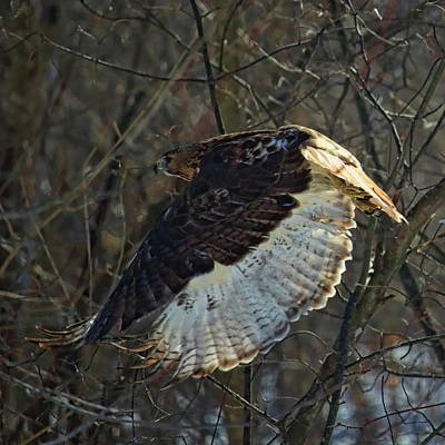 Photograph - Red Tailed Hawk In Flight by Dale Kauzlaric
