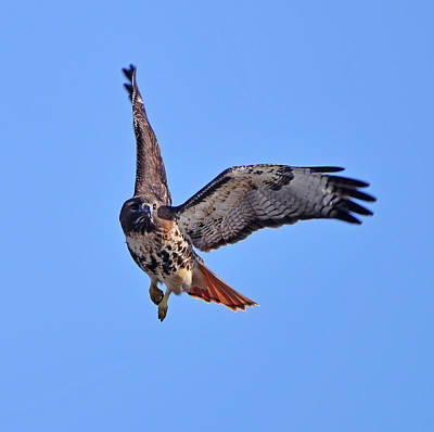 Photograph - Red-tailed Hawk In Flight by Ken Stampfer